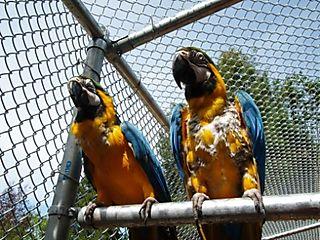 Garuda Aviary Opening -- Merlin and Phoebe -- WS