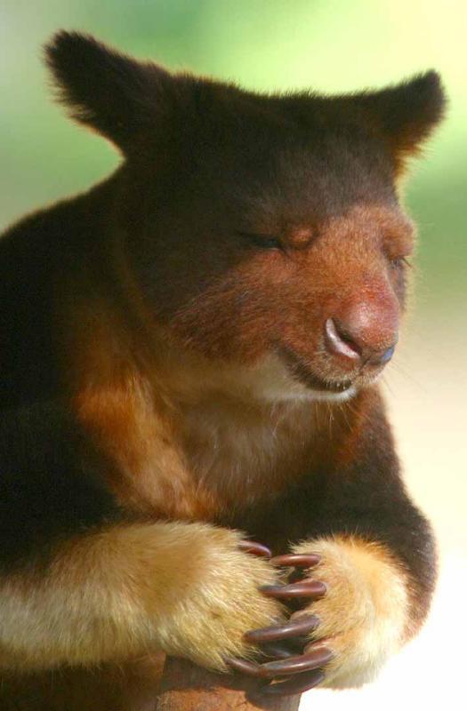 Meditating tree kangaroo