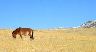 Hustai -- Solo Przewalski's Horse -- WS