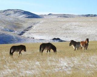 Hustai -- Four Przewalski's Horses -- WS