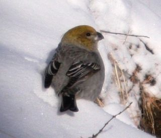 Bogd Khan Uul -- Pine Grosbeak 1 -- WS
