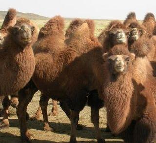 Omnogov -- 2007 Cross-Desert Day -- Camel Herd -- Four Mugging For Camera -- WS