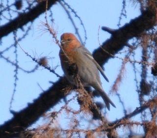 Bogd Khan Uul -- Pine Grosbeak 2 -- WS