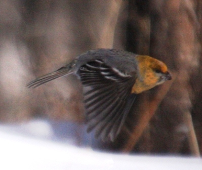 Bogd Khan Uul -- Pine Grosbeak 3 -- WS