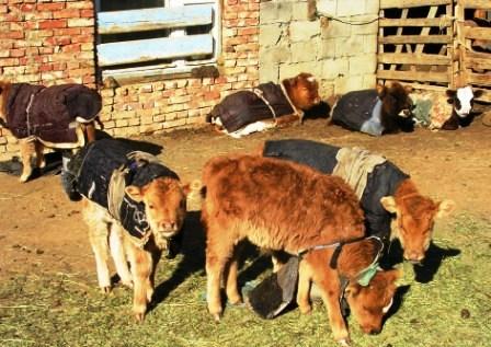 Mongolia -- Tsagaan Sar 2009 -- Blanketed Calves -- WS