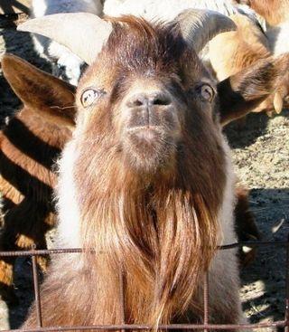 Mongolia -- Tsagaan Sar 2009 -- Malevolent Goat -- WS