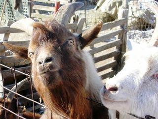 Mongolia -- Tsagaan Sar 2009 -- Demented Goat -- WS