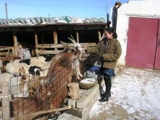 Mongolia -- Tsagaan Sar 2009 -- Batchimeg Feeding Goats -- WS