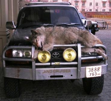 UB -- Wolf on Car 3 -- WS