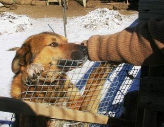 Mongolia -- Tsagaan Sar 2009 -- Bhavgai the Dog -- WS