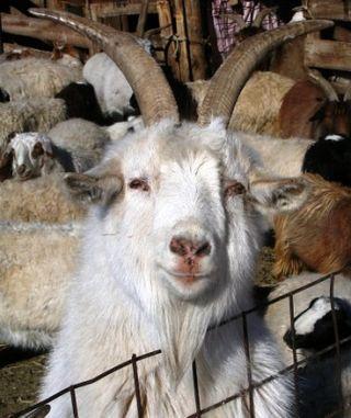 Mongolia -- Tsagaan Sar 2009 -- Smiling Goat -- WS
