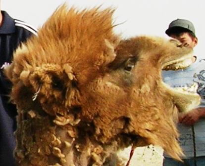 Mongolia -- SIT Gobi Trip -- Camel 1 -- Closeup