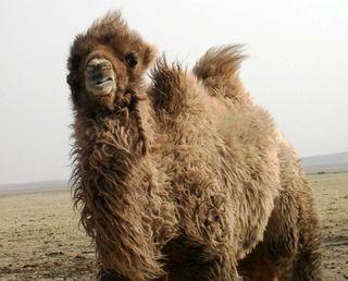 Mongolia -- SIT Gobi Trip -- Camel 3 -- WS