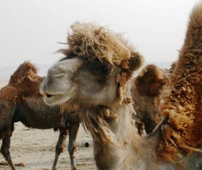 Mongolia -- SIT Gobi Trip -- Camel 8 -- WS