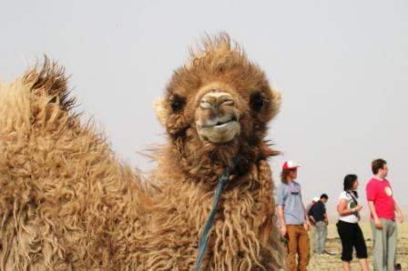Mongolia -- SIT Gobi Trip -- Camel 4 -- WS