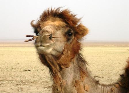 Mongolia -- SIT Gobi Trip -- Camel 7 -- WS