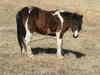 Mongol_horse