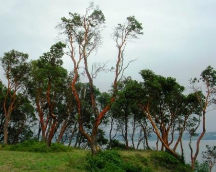 America_trip_vashon_madrone_trees_w