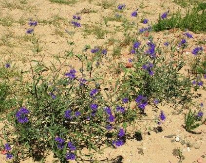 Dornogov_khamar_wildflowers_3_ws