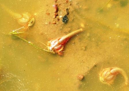 Omnogov_strange_pond_creatures_ws