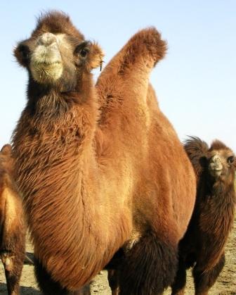 Omnogov_2007_crossdesert_day_camel_