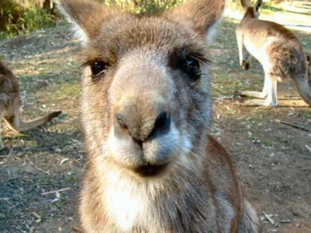 Kangaroo_closeup