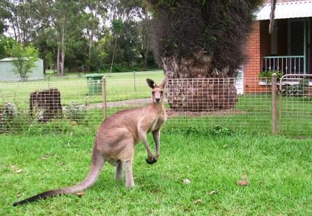 Australia_toorbul_male_kangaroo_ws