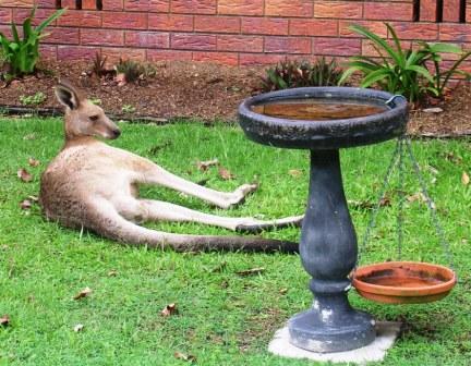 Australia_toorbul_reclining_kangaro