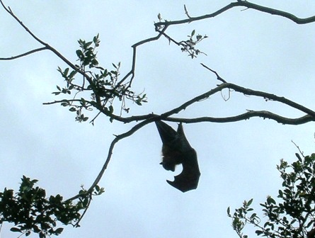 Australia_sydney_fruit_bat_ws