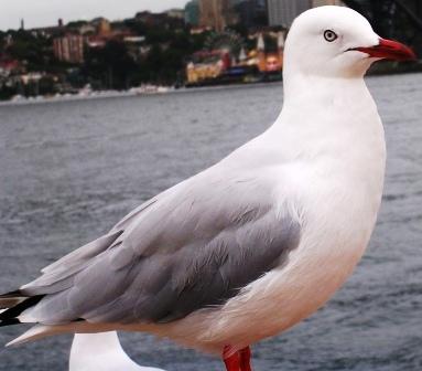 Australia_sydney_silver_gull_ws