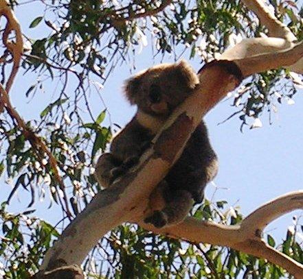 Australia_phillip_island_koala_3