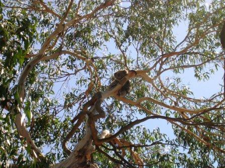 Australia_phillip_island_koala_long