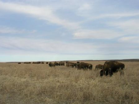 Bison_herd_web_size