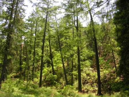 Bogd_forest