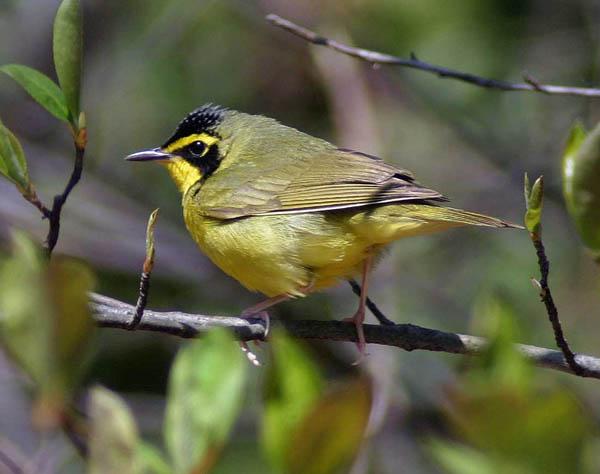Kentucky_warbler