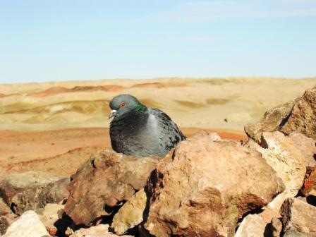 Khamar_cave_retreat_hill_pigeon_on_ovoo__1