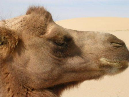 Kk_camel_profile_tight