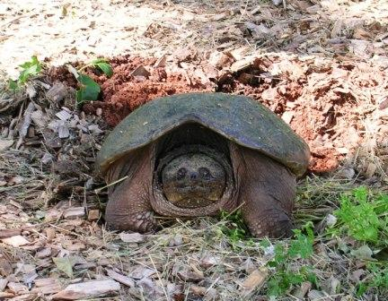 Kpc_snapping_turtle_laying_eggs_web_size