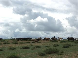 Shognohorses