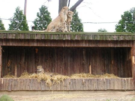 The_zoo_cheetahs